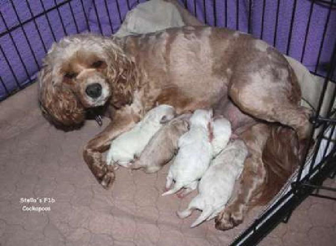 Darling F1b Cockapoo Puppies for sale in Schererville