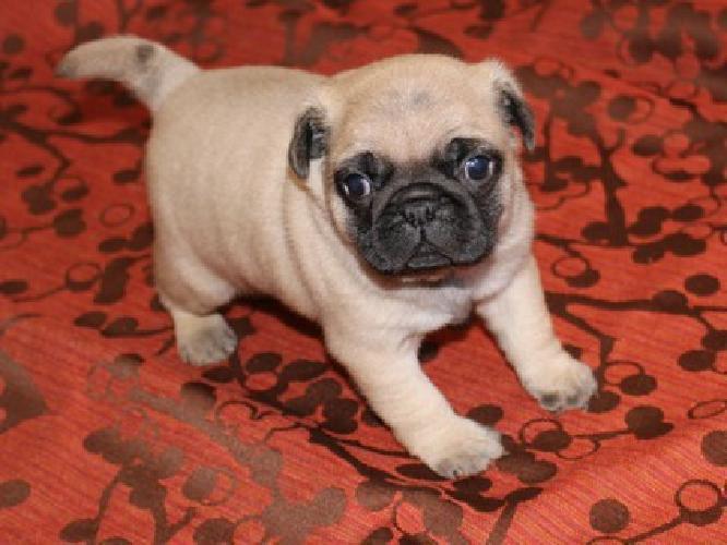 Desire top Pug Babies !!11weeks Old