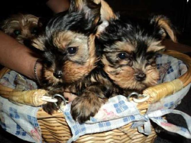 DgdgsdgsdgfRegistered Yorkshire Puppies For Re-Homing