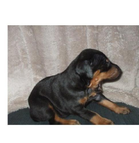 dla Doberman Pinscher Puppies for sale