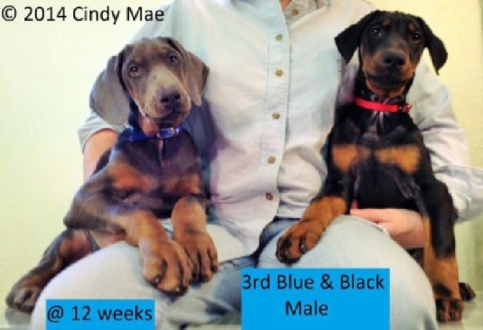 Doberman Pinscher Pups Rare Blue