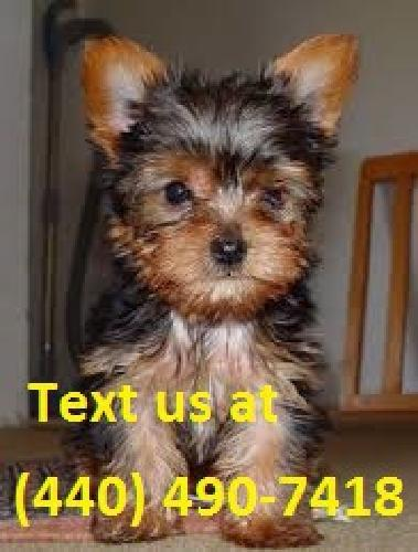 .dssfds Yorkie Puppies for Sale