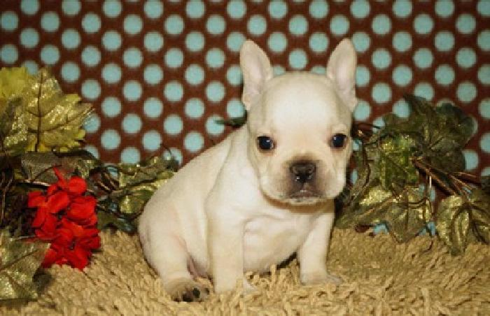 efrenchton puppies male and female available. Both parents