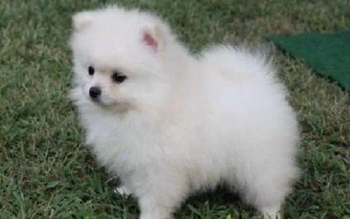 Eight Wonderful M/F Pomeranian Puppies For Sale