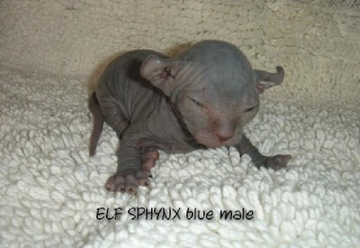 Elf Sphynx Blue Baby Boy Kitten