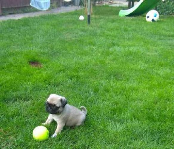 Emii Sweet Pug Puppies