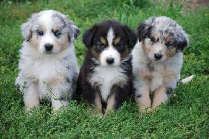 Endearing Male and Female Australian Shepherd Puppies Available