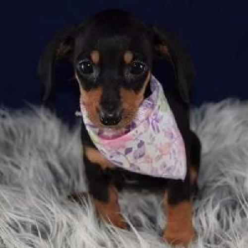 Endearing Male and Female MINI Dachshund Puppies Available