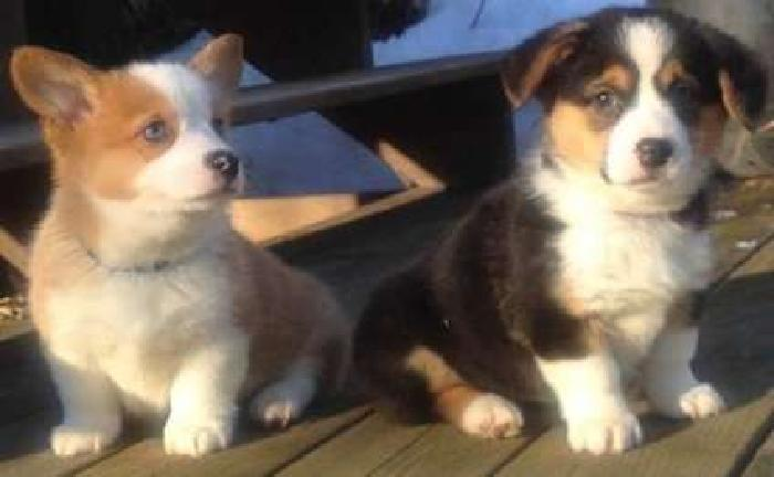 Endearing Male and Female Pembroke Welsh Corgi Puppies Available