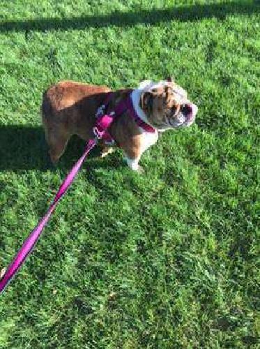 English Bulldog Female
