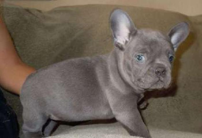 enhance Micro Blue French Bulldog Puppies