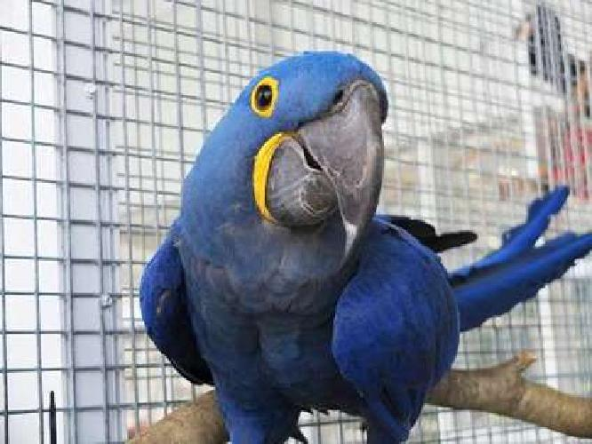 Enjoyable Hyacinth Macaw Parrots With Fantastic Cage! Ready Now