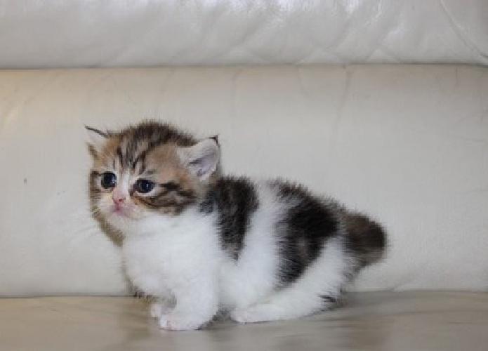 eskhk Calico Munchkin Kittens For You