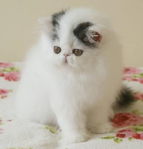 Exellent trained Exotic shorthair kittens