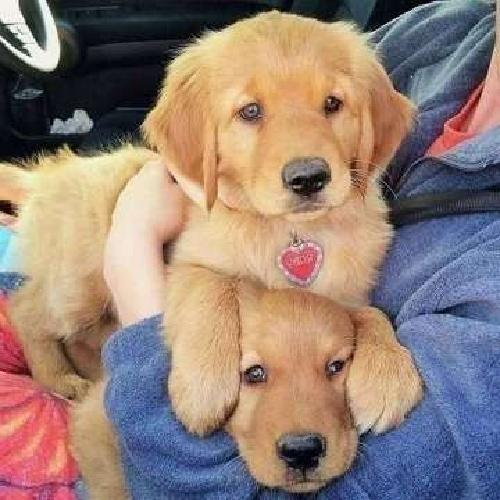 exemplary1 Male and Female Golden Retriever Puppies For Sale