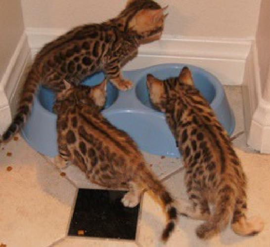 Exotic Leopard Bengal Cubs Available Now