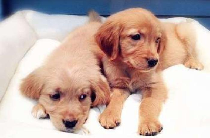 Exquisite Healthy Male and Golden Retriever Puppies Ready