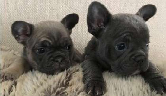 F3 French Bulldog Puppies WWW.MICROBLUEFRENCH. COM