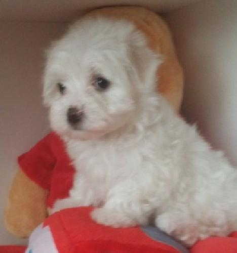 Fantastic White MF Maltese puppies Available:{504} 510 8446