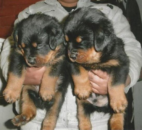Favorable Akc Reg. Males And Females Rotts Available