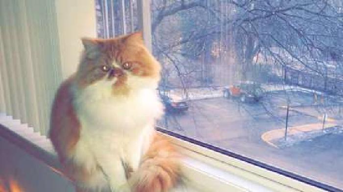 Female Persian Kitten-For Sale