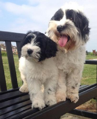fg Tibetan Terrier puppies for sale