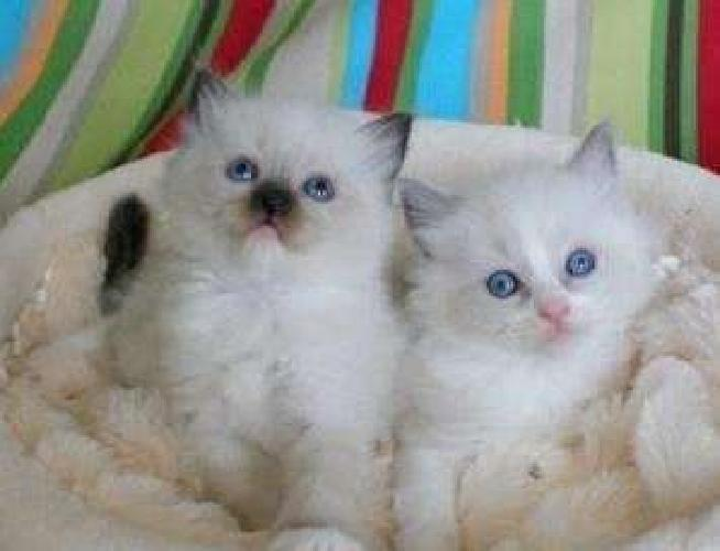 fgbn asd Rag-doll kittens for sale