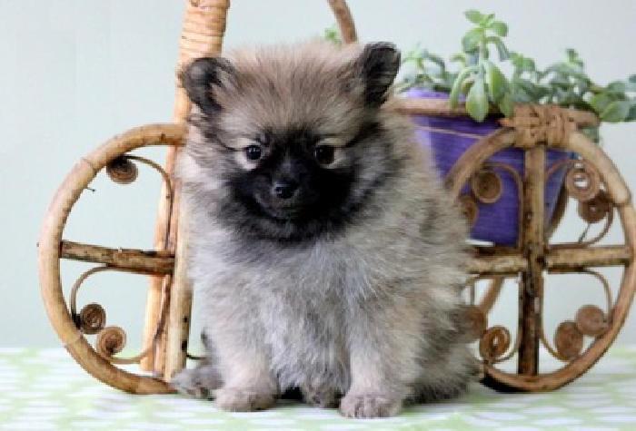 fgdsgr Teacup Pomeranian Pups For Sale
