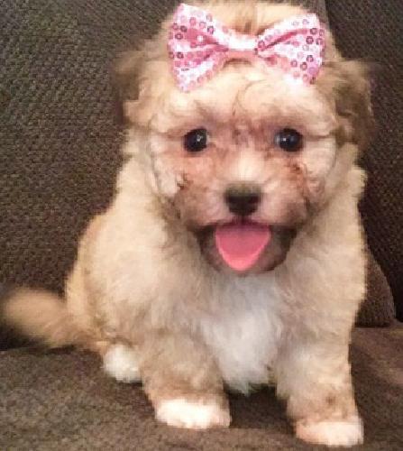 fgfdgff Havanese Puppies for Sale
