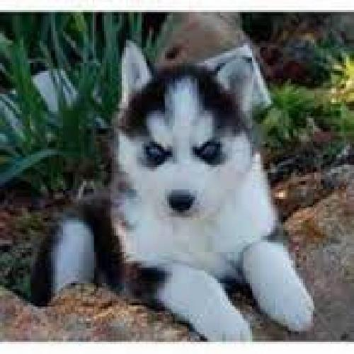 fghjhgkjkhjlGorgeous akc registered siberian huskie puppies now available