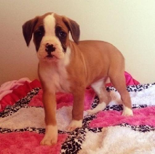 FGHJL AKC Reg Fawn & Brindle Boxer M/F Puppies available for sale