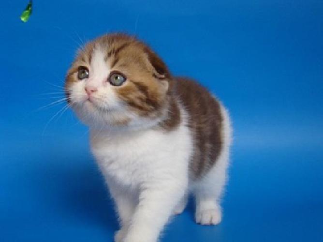 fgnhg trgyhyj scottish fold kittens