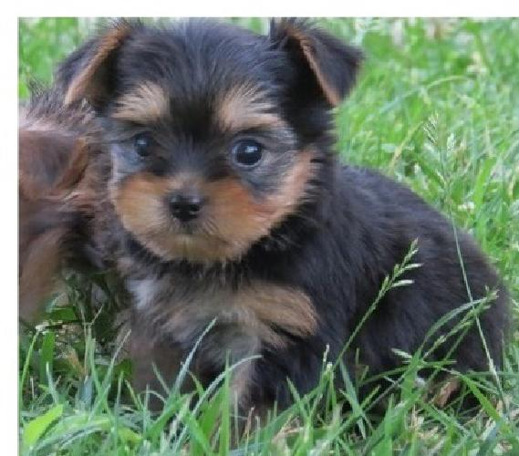 fhgfhgjf ghjj Full breed yorkie pups available for sale in