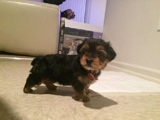 Fhjkg Male Yorkshire Terriers Ready Now For Sale In Corpus Christi