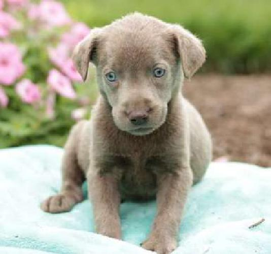 Five Quality M/F Labrador Retriever Puppies For Sale