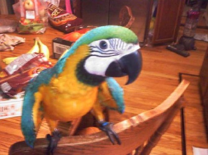 fksdjhgsf Supper Gorgeous stunning pair blue/gold & Green macaw