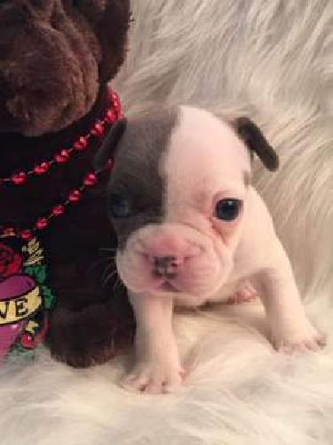 French Bulldog Blue Pied Sable Male - ASTON
