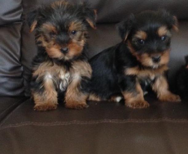 Friendly cute little Yorkshire Terrier Puppies