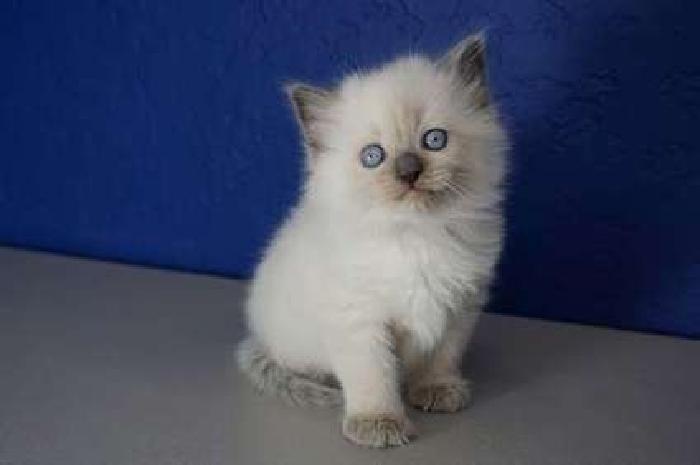 Gallant Ragdoll Kittens For Sale