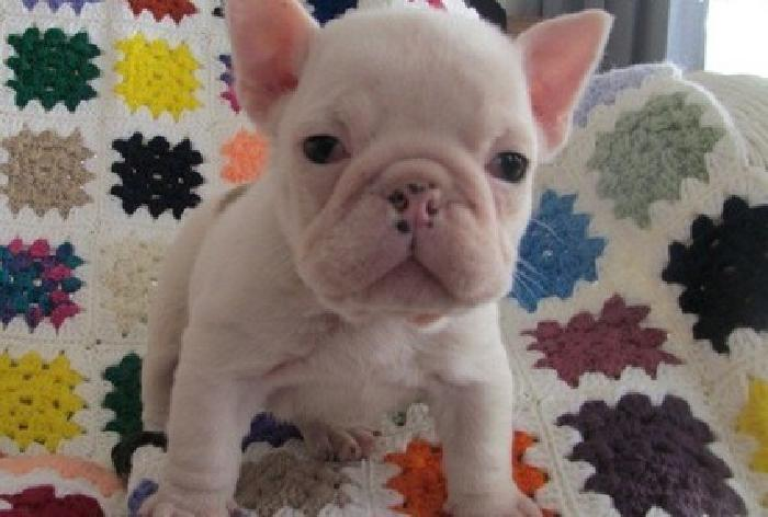 gbhyhuj English bulldog puppies