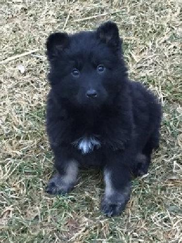 German Shepherd pups, AKC, OFA, Protection & Schutzhund History, Imported German