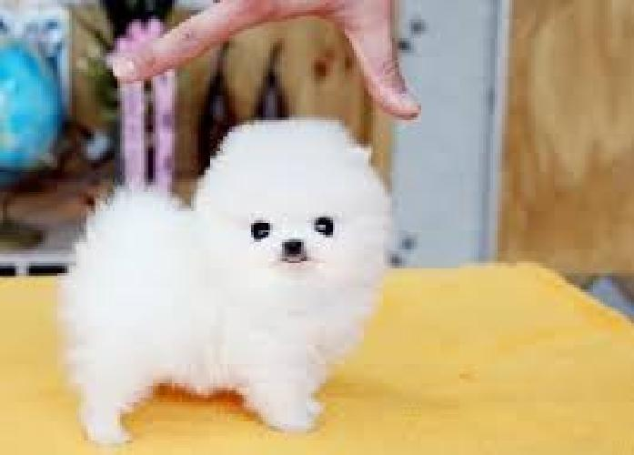 Gfgf Adorable M/F Teacups Pomeranian Puppies for Re-Homing