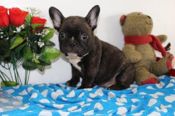 GHBfvdSC French Bulldog puppies