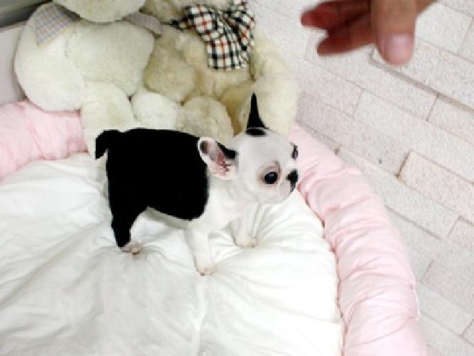 ghfdghfghfgh french bull dog mini