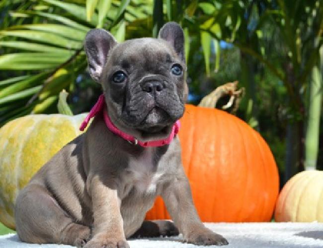 ghfhhgh French Bulldog puppies