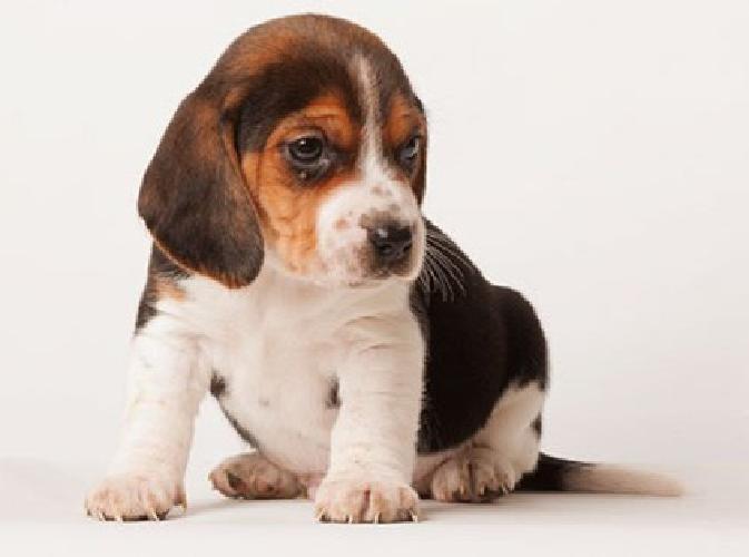 ghgdf cute Beagle Puppies for Sale