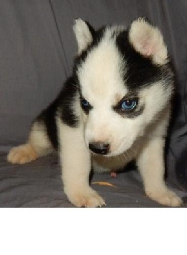 glyit Siberian Husky Puppies for sale