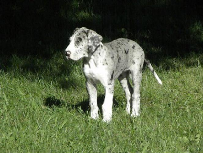 gmmu Agreeable and socially out going Great Dane