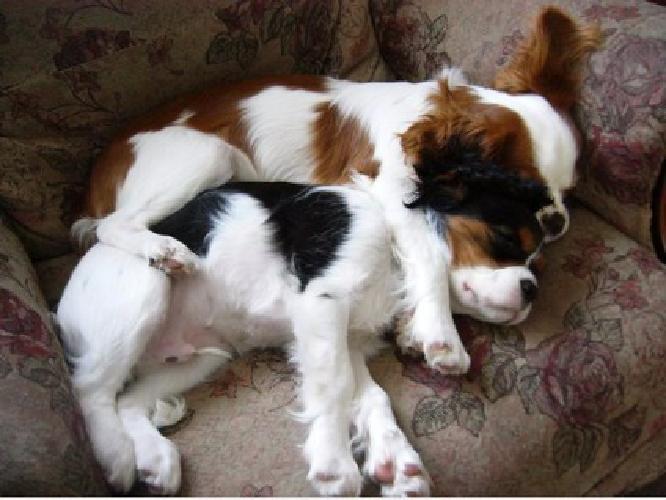 gndg Cavalier King Charles Spaniel Pups For Sale