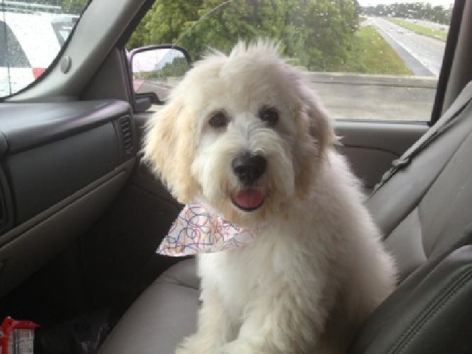 Goldendoodles Teddy Bear English Cream Puppies for sale in